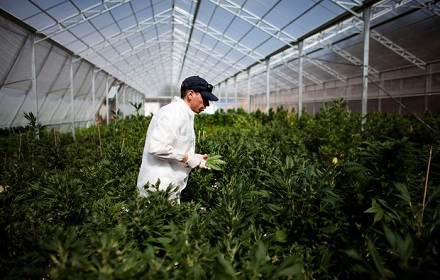 marijuana-farmer-jobs